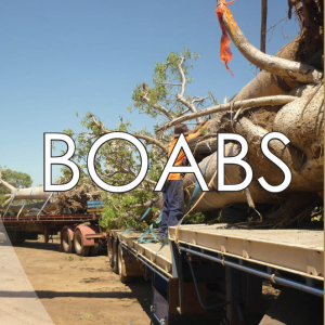 Baobab/Boab (Adansonia gregorii)