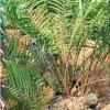zamia-integrifolia-giant-2